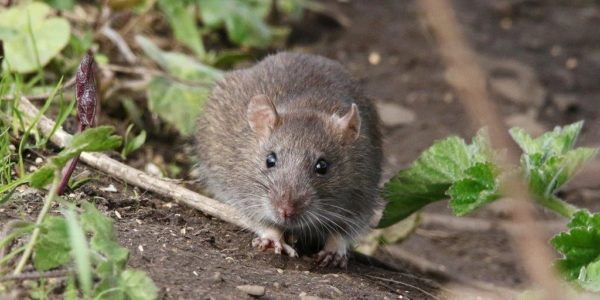 Comporamiento ratas covid